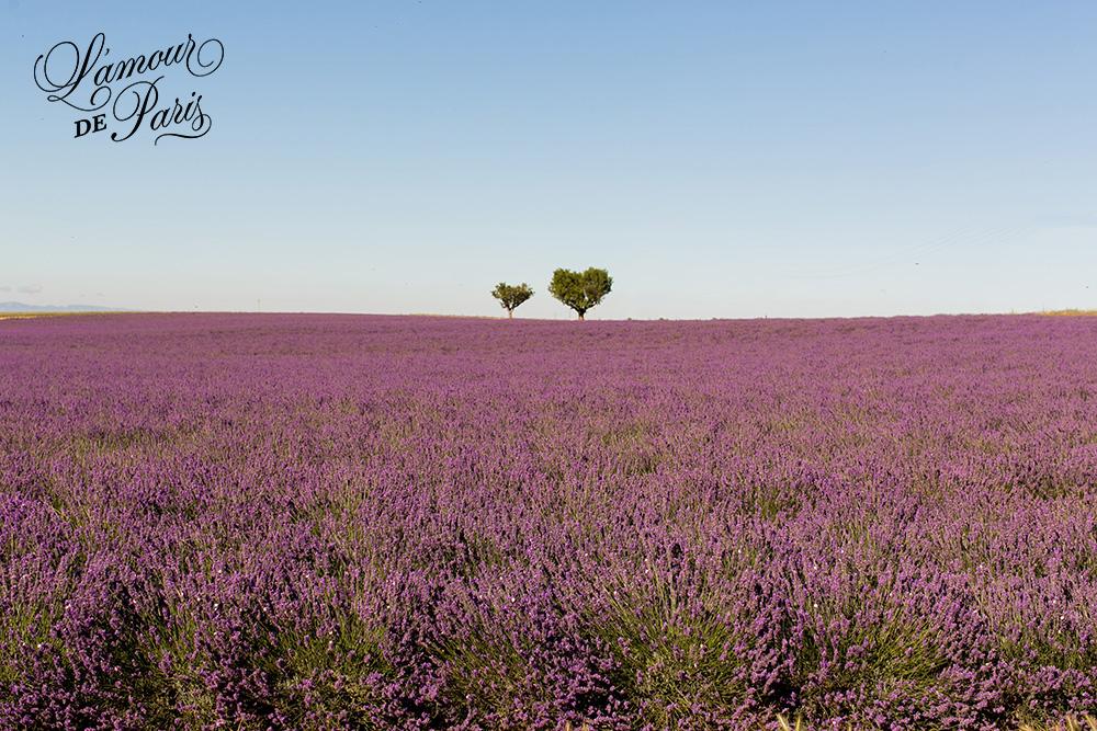 provence lavender fields valensole france 01