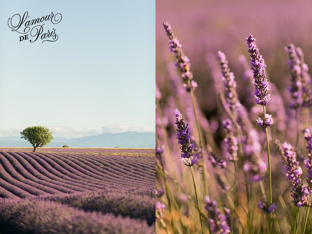 provence lavender fields valensole france 02